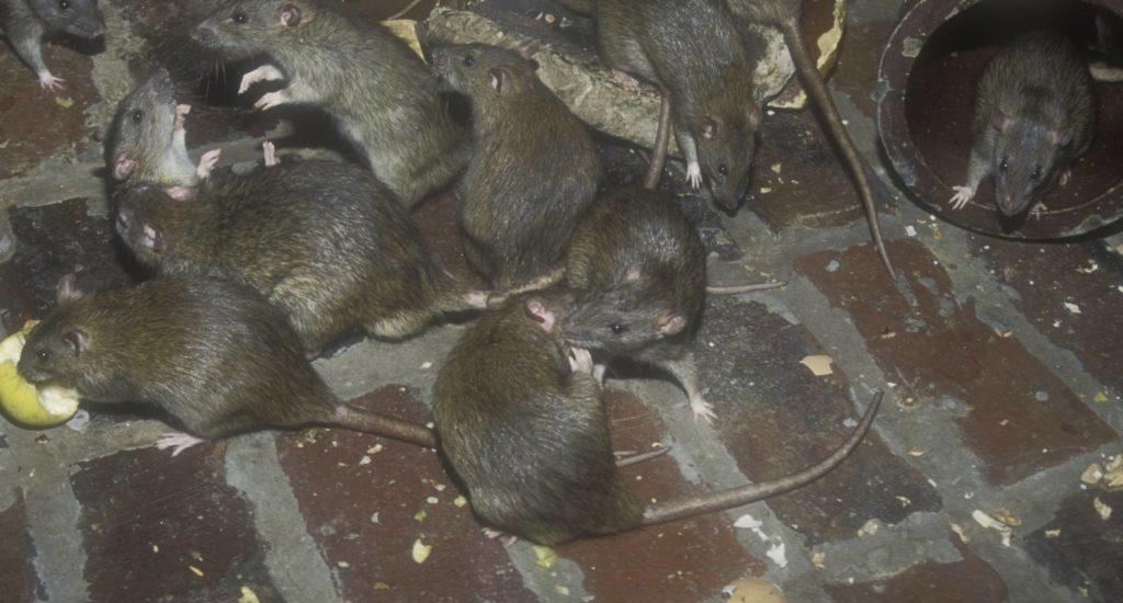 уничтожение крыс в Ессентуках